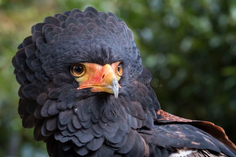 Орел Bateleur стоковое изображение rf