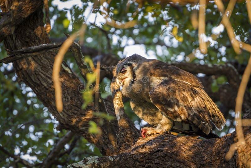 Орл-сыч ` s Verreaux в национальном парке Kruger, Южной Африке стоковая фотография