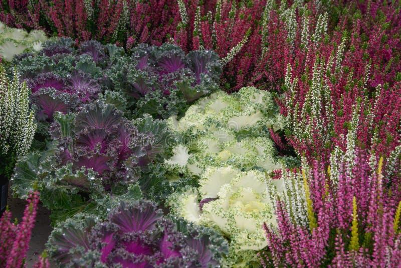 Орнаментальная капуста и цветя вереск стоковое изображение