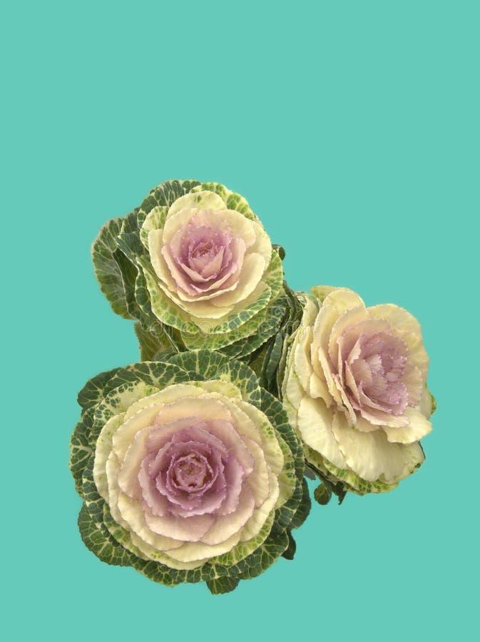 Орнаментальная листовая капуста с предпосылкой зеленого цвета pantone стоковая фотография