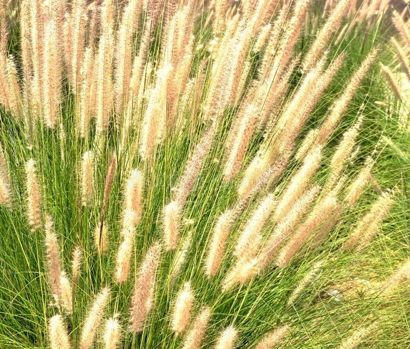 Орнаментальное miscantuthus травы с пушистым чувствительным светлым взглядом, часто используемым для благоустраивать парки и квад стоковая фотография