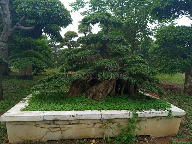 орнаментальные дерево и кустарник стоковое фото rf