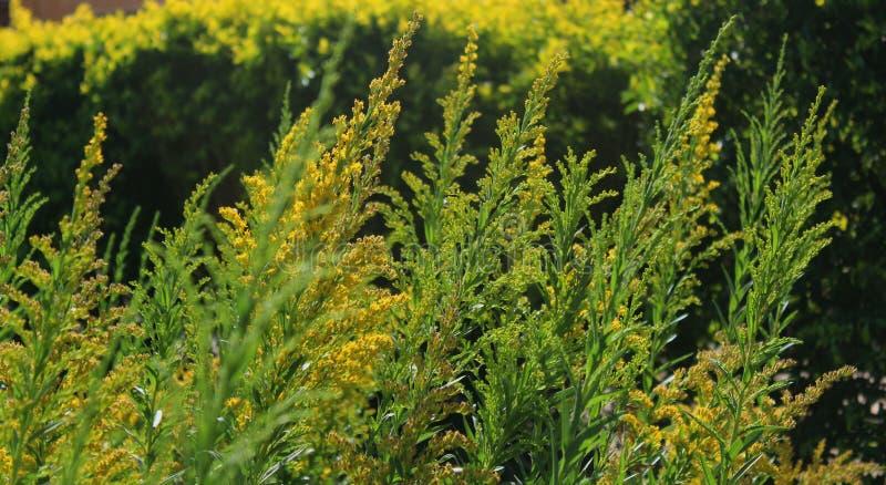 Орнаментальные желтые цветки и бутоны сада стоковое фото rf