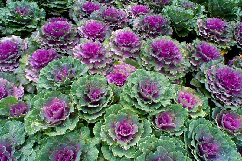 Орнаментальный завод kale стоковая фотография
