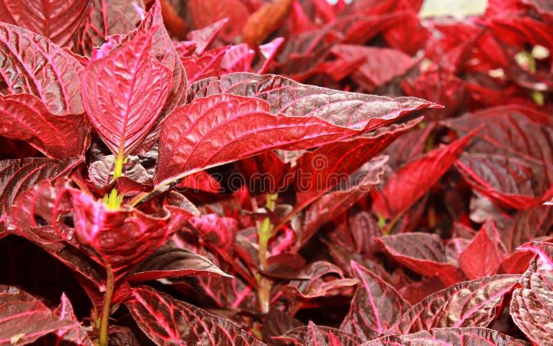 Орнаментальный красный цвет выходит заводы в парк bryant, kodaikanal стоковые изображения rf