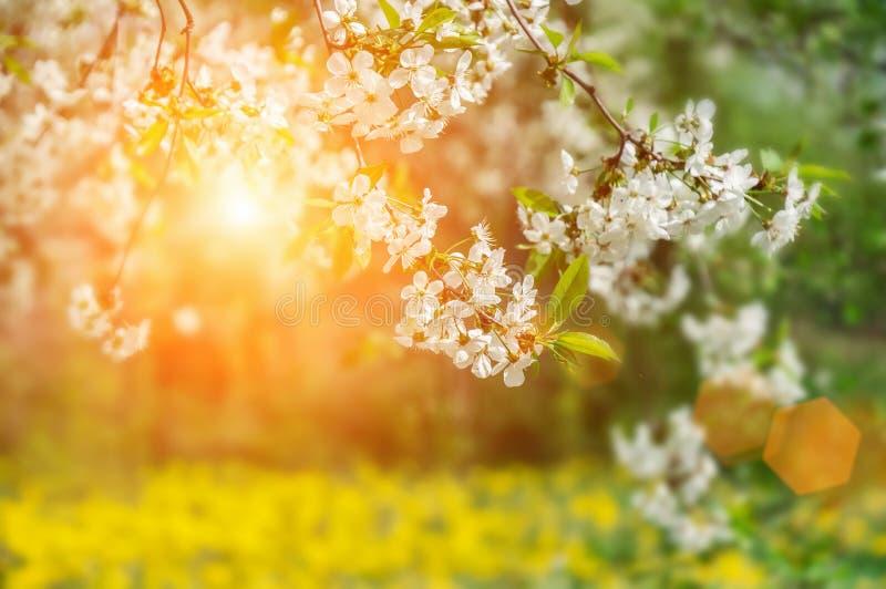 Орнаментальный сад с величественно цвести большими вишневыми деревьями и яблонями на свежей зеленой лужайке стоковое изображение