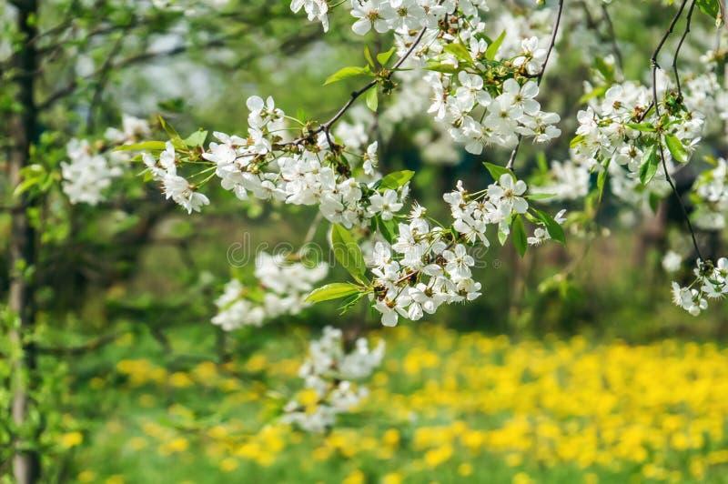 Орнаментальный сад с величественно цвести большими вишневыми деревьями и яблонями на свежей зеленой лужайке стоковая фотография