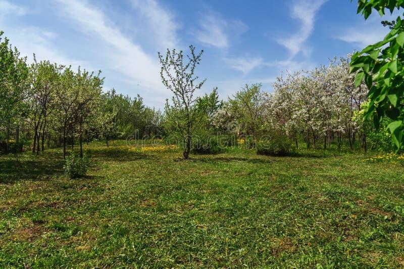 Орнаментальный сад с величественно цвести большими вишневыми деревьями и яблонями на свежей зеленой лужайке стоковые изображения rf