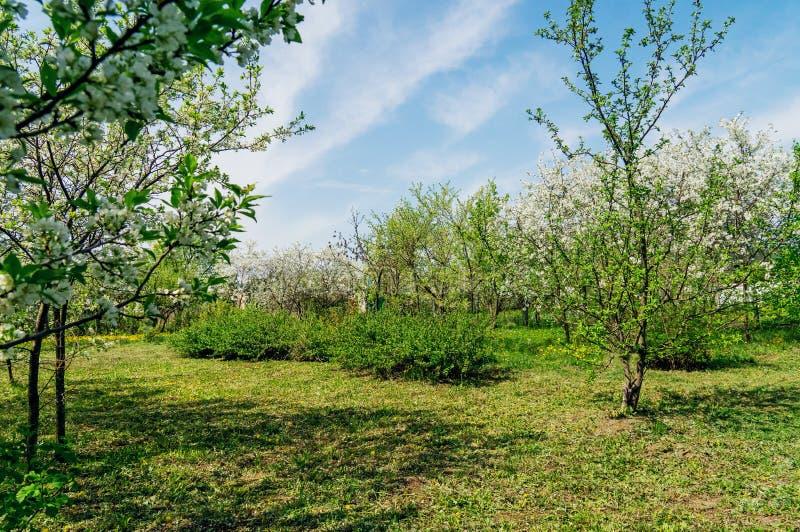 Орнаментальный сад с величественно цвести большими вишневыми деревьями и яблонями на свежей зеленой лужайке стоковое фото rf