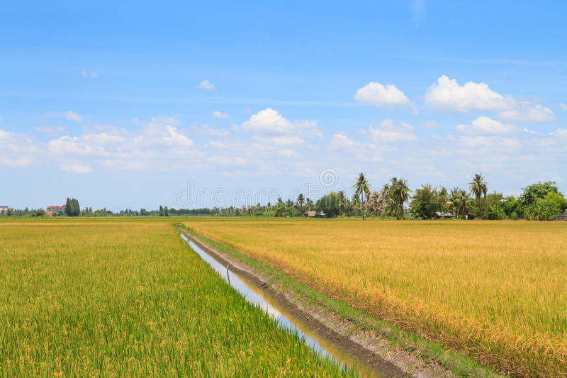 Оросительный канал в поле риса стоковые изображения rf