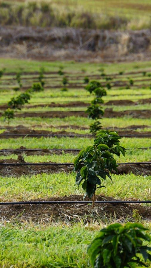 Молодые деревья кофе стоковое изображение