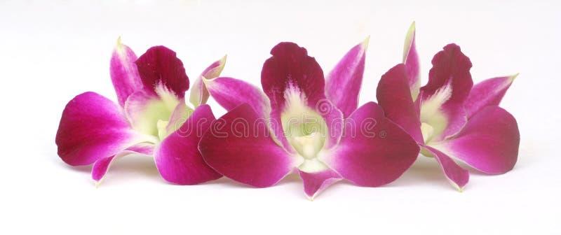 орхидеи крупного плана красные стоковые изображения
