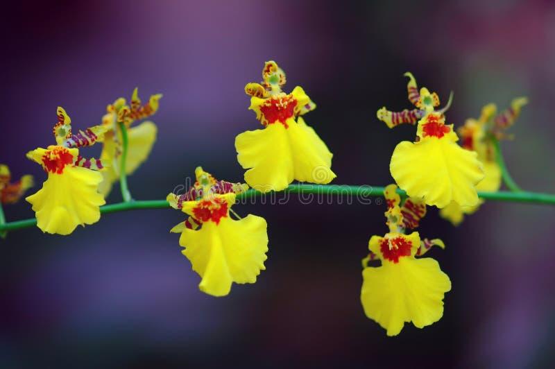 орхидеи танцы стоковые изображения