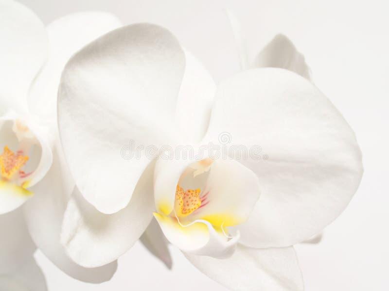 орхидеи fower белые стоковое изображение rf