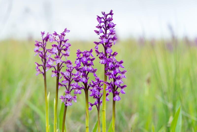 орхидея одичалая Редко найденный в одичалом стоковая фотография rf
