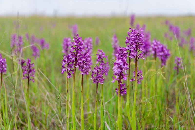 орхидея одичалая Редко найденный в одичалом стоковое фото rf
