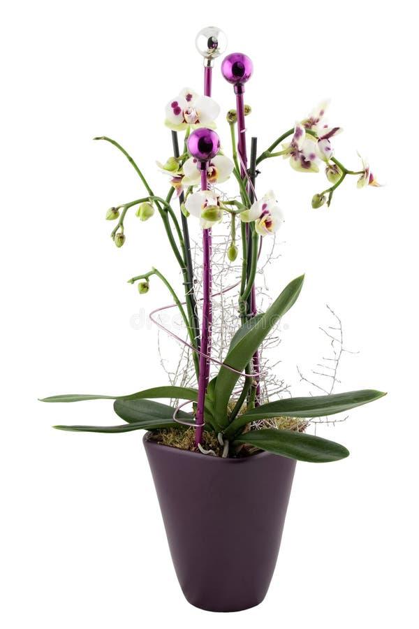 орхидея рождества стоковая фотография rf