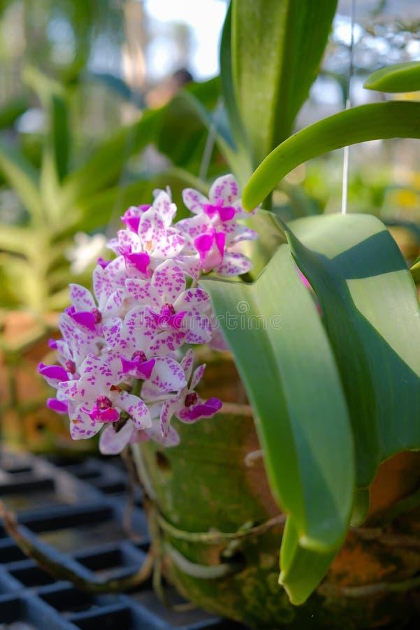 Орхидея слона стоковые изображения