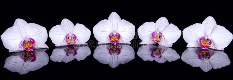 Орхидея цветет с отражением на черной акриловой предпосылке стоковые фото