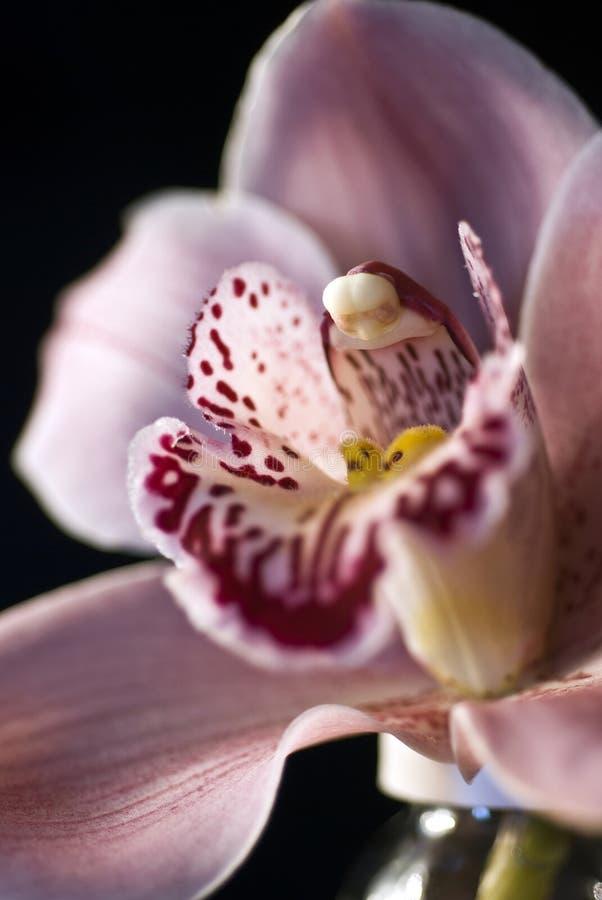 орхидея 2 стоковая фотография rf