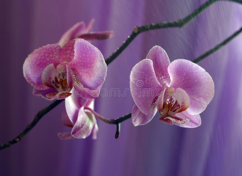 орхидея 3 стоковые фотографии rf