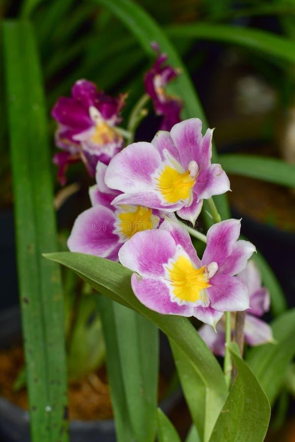 Орхидея Cymbidium подняла красивый очаровывать стоковое фото rf