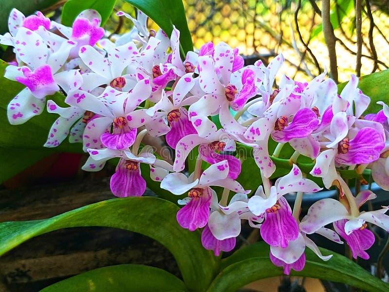 Орхидея gigantea Rhynchostylis Редкая орхидея стоковое фото