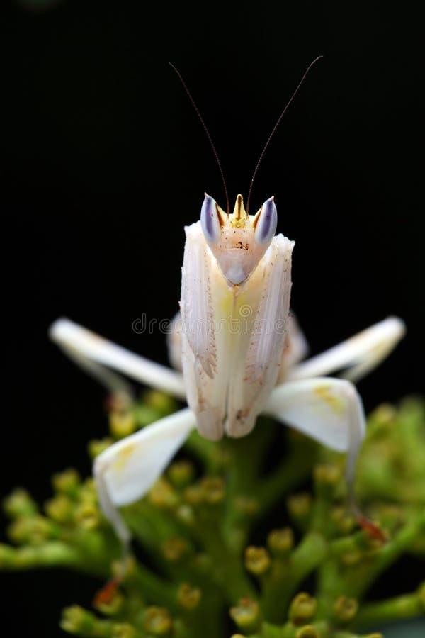 орхидея mantis стоковое изображение rf