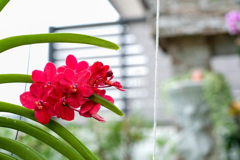 Орхидея Mokara стоковые фото