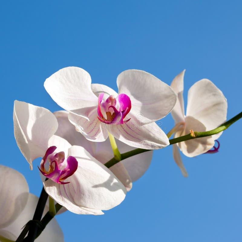 Орхидея, phalaenopsis стоковая фотография rf