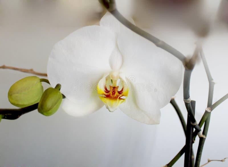 орхидеи белые стоковая фотография rf
