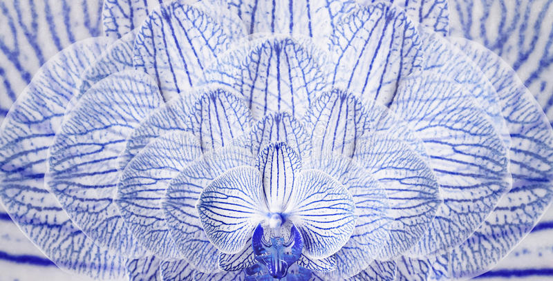 Орхидеи сине-белые Предпосылка орхидей цветков тюльпаны цветка повилики состава предпосылки белые closeup Пестрые brindle цветки иллюстрация штока