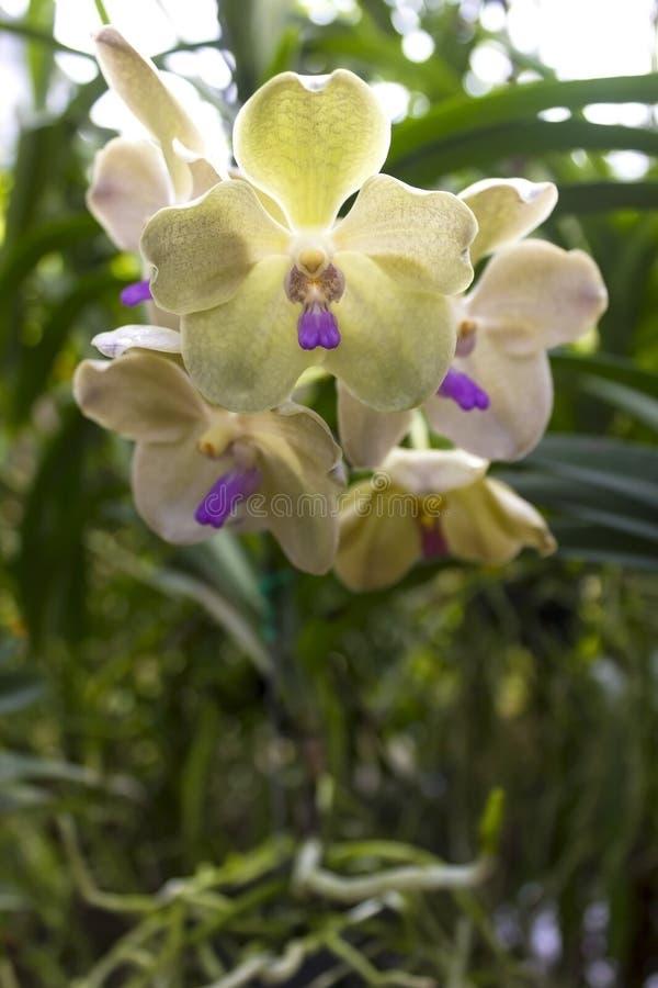 Орхидеи (Vanda) стоковое изображение rf
