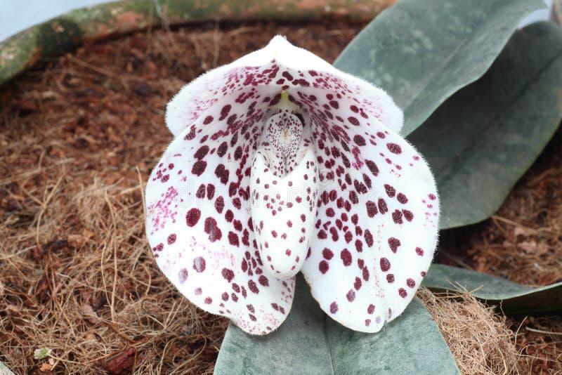 Орхидея дамы тапочки стоковые изображения rf