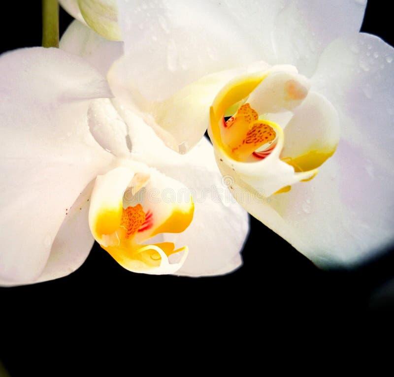 орхидея белизны цветка стоковое фото rf