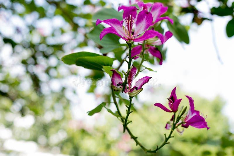 Орхидея Гонконга, цветок пурпура или Bauhinia зацветать стоковая фотография