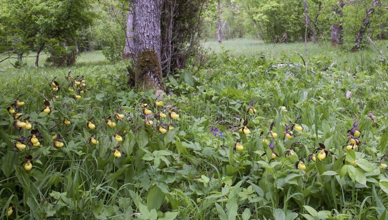 Download орхидея Дам-тапочки в их естественной среде обитания Стоковое Изображение - изображение насчитывающей эстония, природа: 41654709