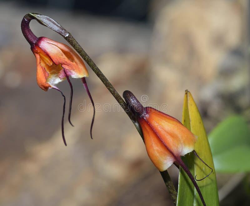 Орхидея Дракула Sodiro отца стоковое изображение rf