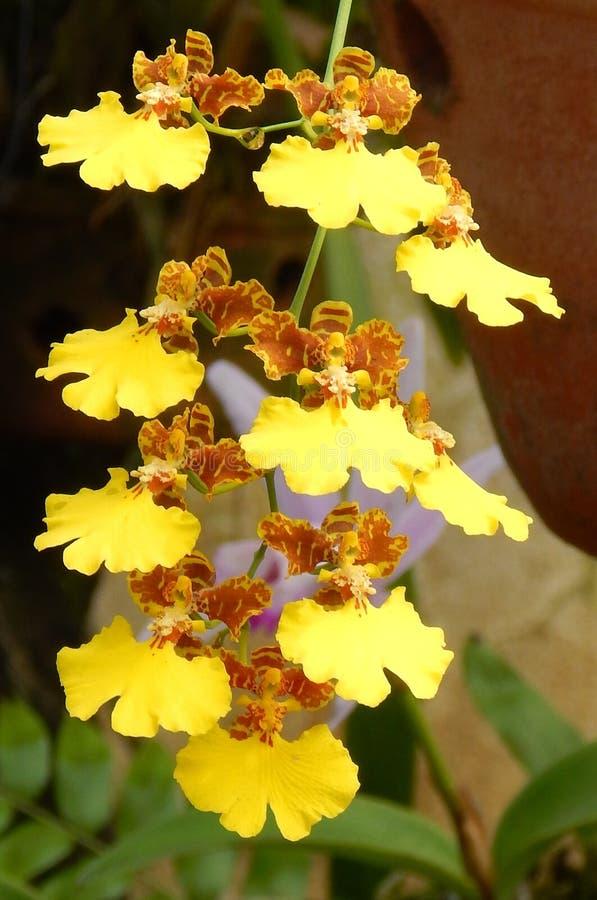 Орхидея золотого дождя стоковое изображение rf