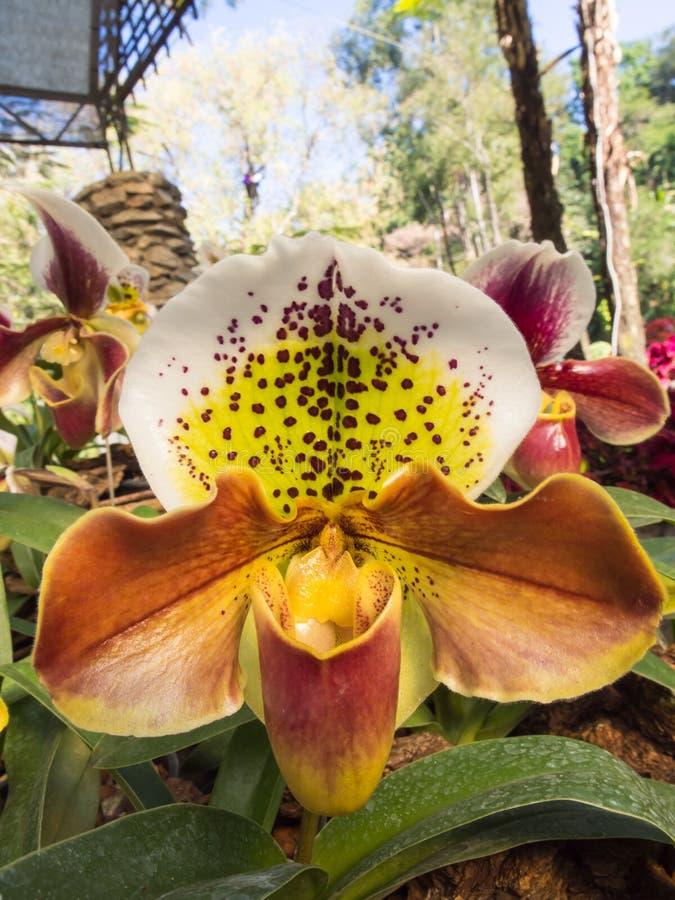 Орхидея тапочки дамы уникально форма стоковые фотографии rf