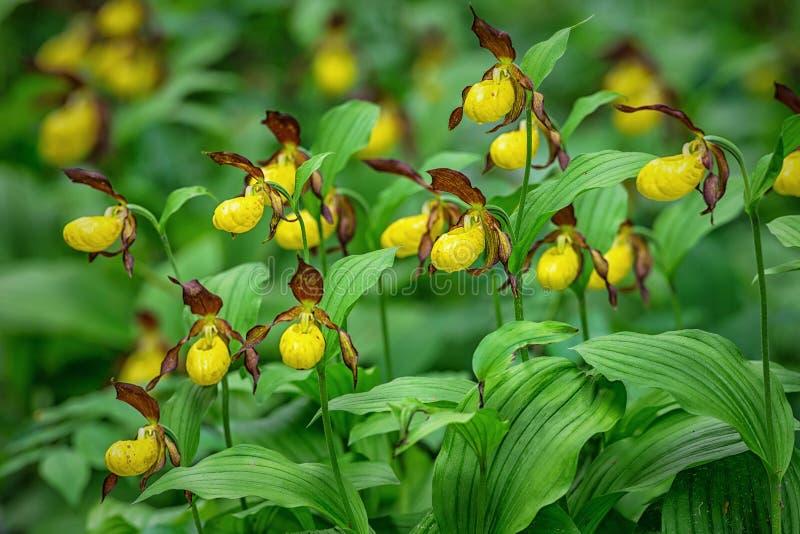 Орхидея тапочки Ladys - calceolus Cypripedium стоковые изображения rf