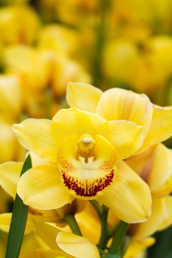 Орхидея цветка желтая на вертикальном изображении стоковые изображения rf