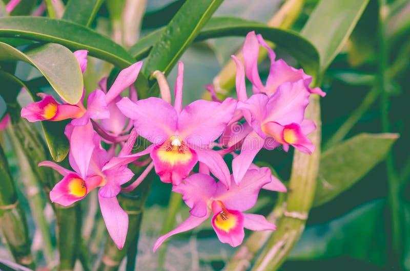 Орхидея guatemalensis Guarianthe x стоковые изображения rf