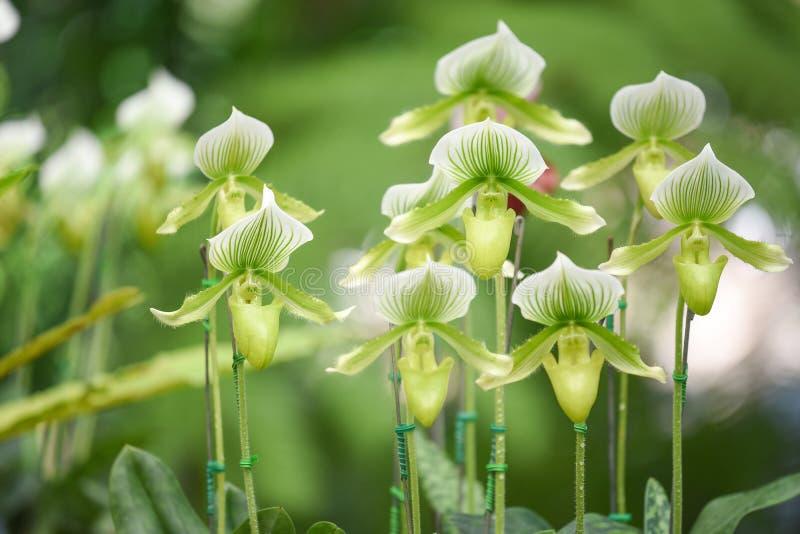 Орхидея Paphiopedilum в саде стоковые изображения rf