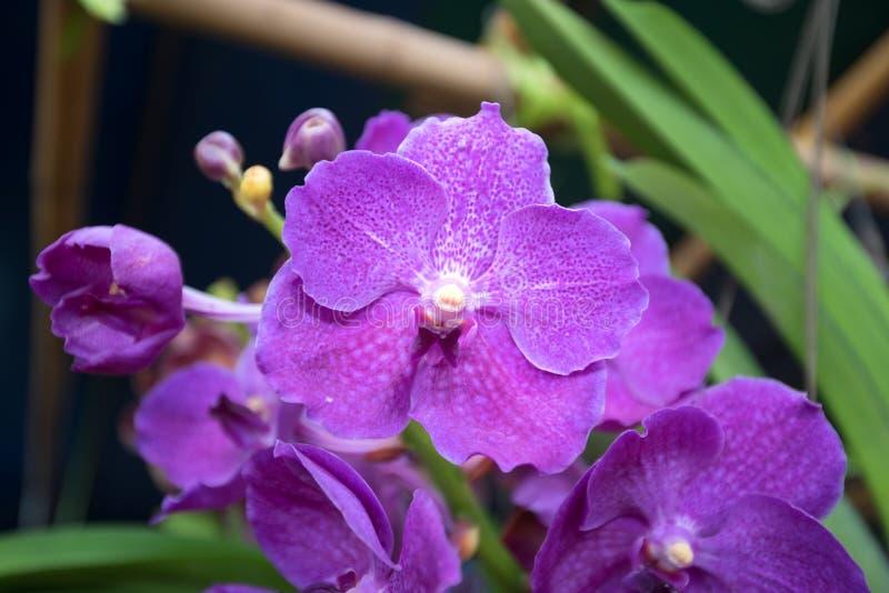 Орхидея sonia Dendrobium, фиолетовая орхидея в саде стоковое изображение rf