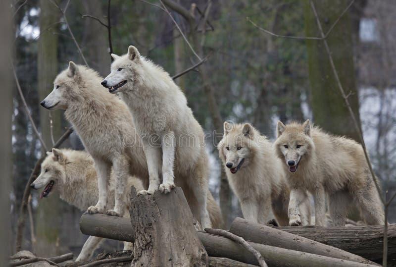 Орда ледовитых волков стоковое изображение rf