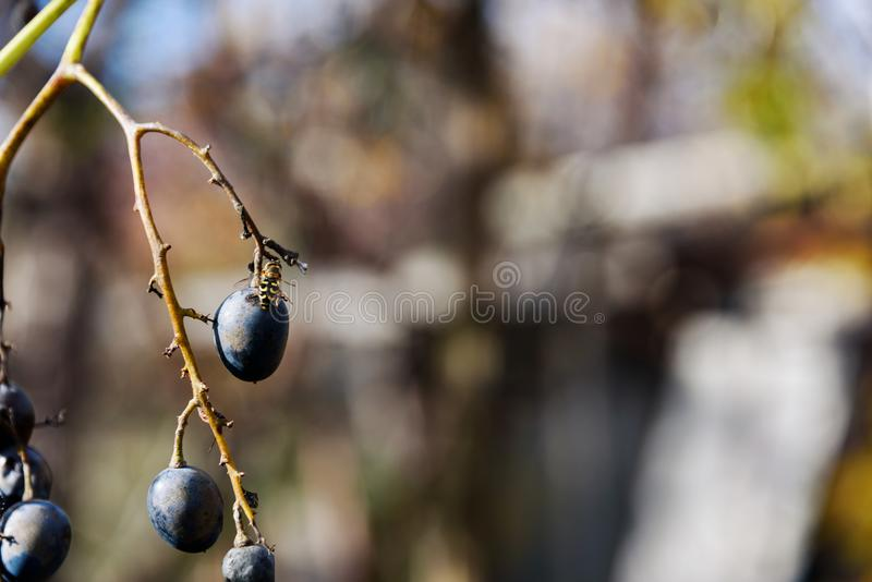 Оса ест крупный план виноградин плодоовощ стоковая фотография rf