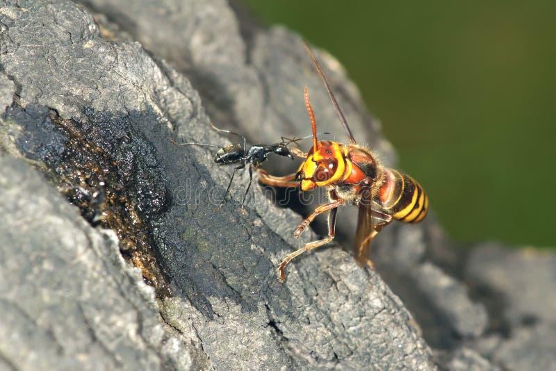 Оса и муравей стоковое фото rf