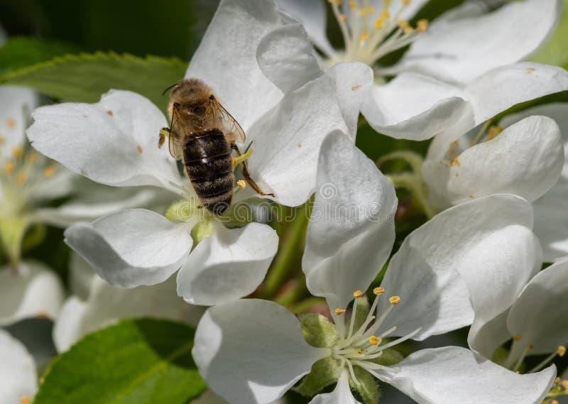 Оса на белых wildflowers стоковое изображение rf