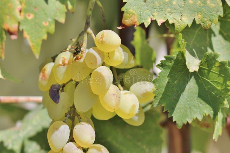 Оса на виноградинах стоковое изображение